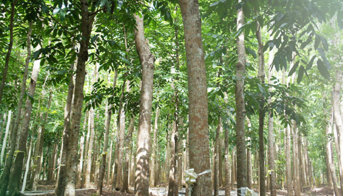 Falcata Tree - Philippines