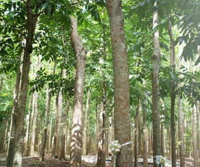 Falcata Tree - Philippines