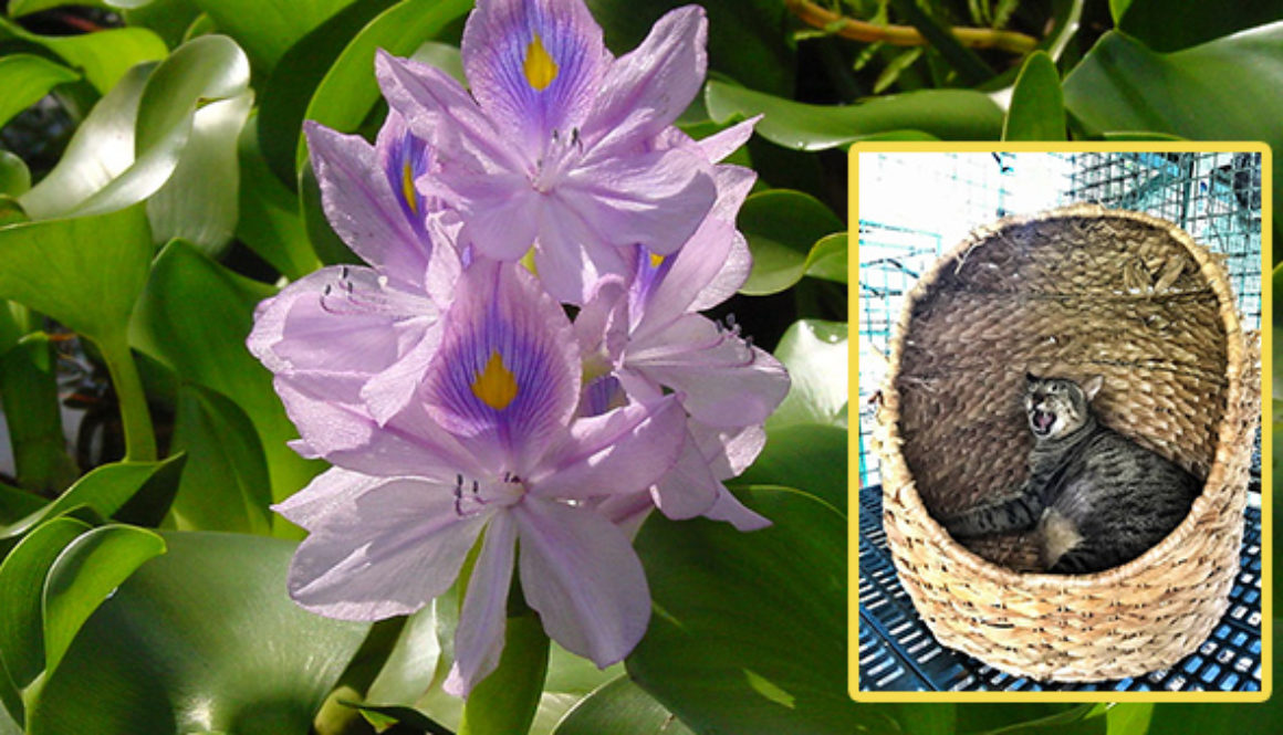 Water hyacinth as material for pet pods
